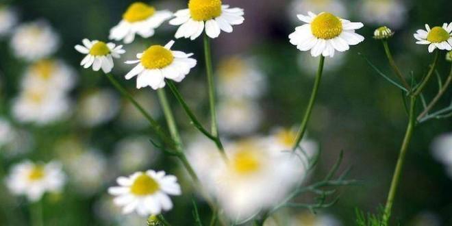 Camomilla proprietà benefici uso tisana di camomilla controindicazioni
