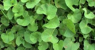 Centella Asiatica proprietà benefici uso tisana di centella asiatica controindicazioni