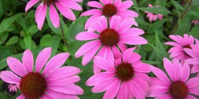 Echinacea - proprietà, benefici per la salute, utilizzi e controindicazioni