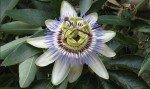 Passiflora: proprietà, benefici, utilizzo, rimedi naturali e controindicazioni