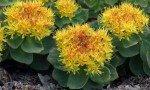 Rhodiola rosea: proprietà, benefici, uso e controindicazioni