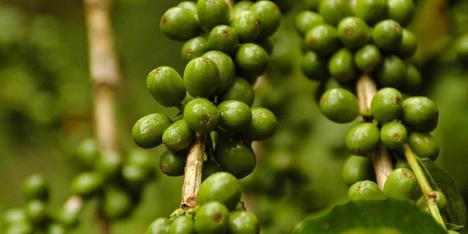 Caffè verde: proprietà, benefici uso e controindicazioni. Il caffè verde crudo ha diverse proprietà benefiche: è ottimo per dimagrire, ha effetti antiossidanti e migliora l'aspetto dei capelli e della pelle.