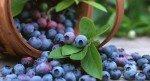 Mirtillo: proprietà, benefici, uso e controindicazioni