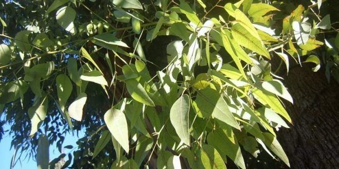 Proprietà benefiche dell'eucalipto, rimedi naturali e controindicazioni