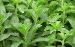 Stevia rebaudiana: proprietà, benefici, usi e controindicazioni