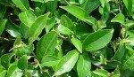 Tè nero: proprietà, benefici per la salute, utilizzi e controindicazioni