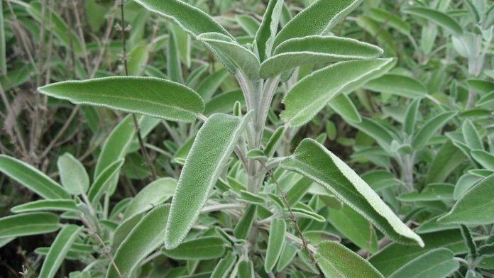 Salvia - Proprietà e Benefici