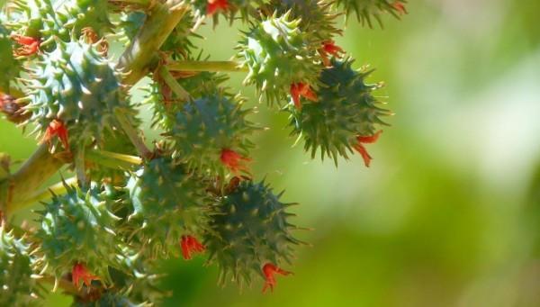 pianta del ricino