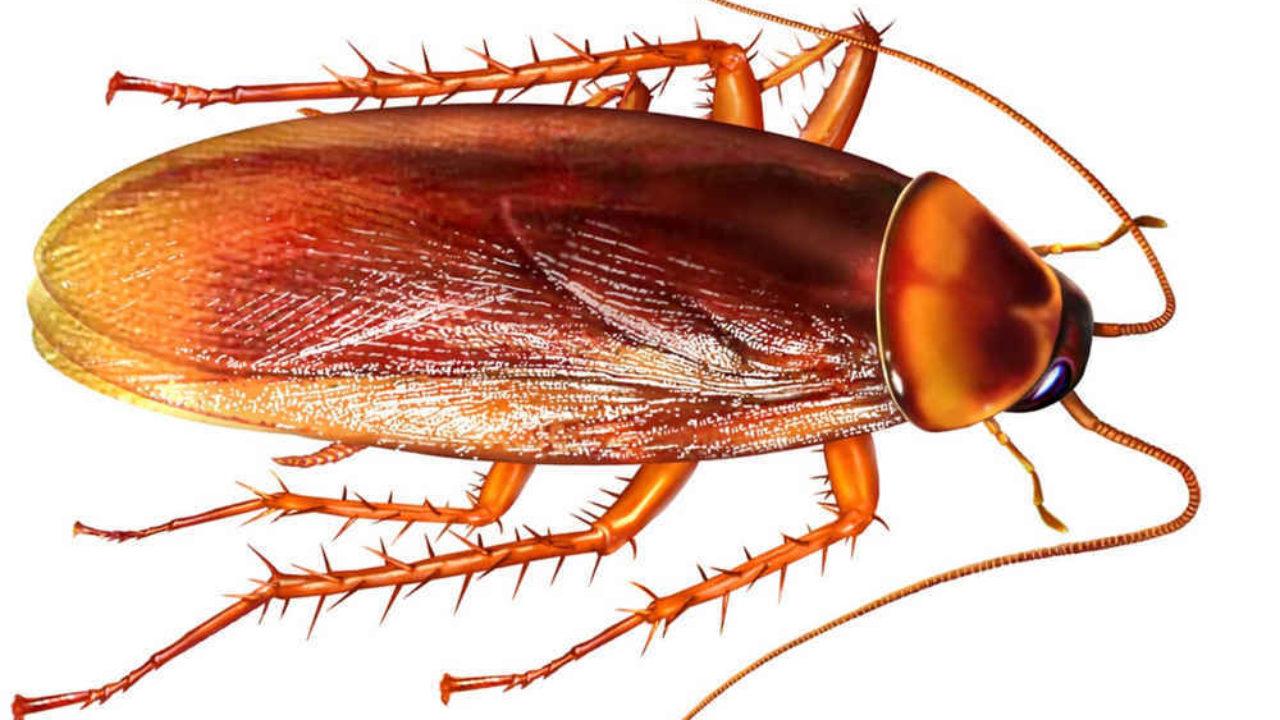 Piccoli Scarafaggi In Cucina come eliminare blatte e scarafaggi in modo naturale senza