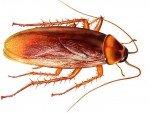 Come eliminare blatte e scarafaggi in modo naturale