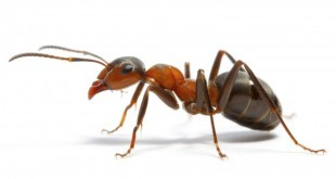 Come eliminare le formiche da casa in modo veloce e naturale