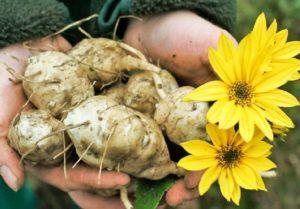 Topinambur crudo proprietà benefici ricette