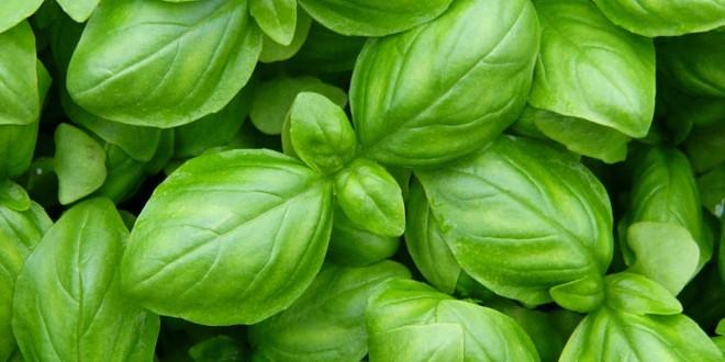 Basilico: proprietà, benefici, valori nutrizionali, utilizzi e controindicazioni