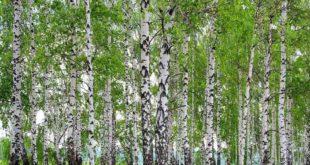 Betulla - proprietà, benefici, utilizzo, rimedi naturali e controindicazioni linfa e tisana di betulla