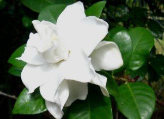 Gardenia - come curare e coltivare le gardenie in vaso e in giardino