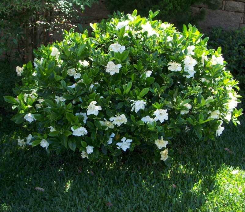 Gardenia come curare e coltivare le gardenie in vaso e in - Gardenia pianta da interno o esterno ...