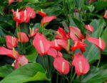 Anthurium giardino - come curare e coltivare Anthurium in giardino