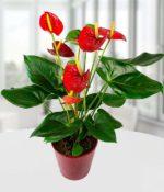Anthurium vaso - come curare e coltivare Anthurium in vaso sul balcone