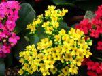 Kalanchoe: come curare e coltivare le kalanchoe in vaso e in giardino