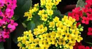 kalanchoe - come curare le kalanchoe e come coltivare le kalanchoe in vaso sul balcone o in giardino