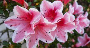 azalea azalee - come curare e coltivare le azalee in vaso sul balcone o in giardino