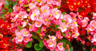 begonia begonie - come curare e coltivare le begonia in vaso sul balcone o in giardino