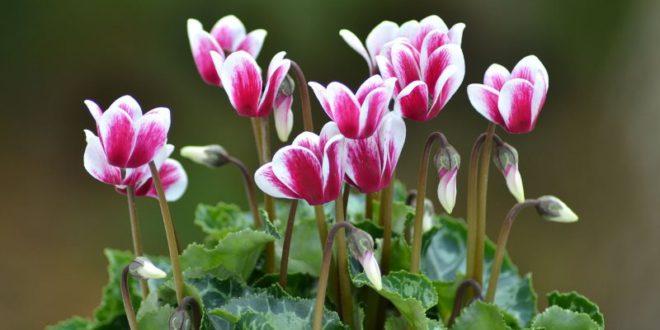 ciclamino in vaso o giardino - come curare i ciclamini e come coltivare i ciclamini in vaso o in giardino