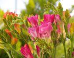 fresie giardino - come curare e come coltivare le fresie in giardino