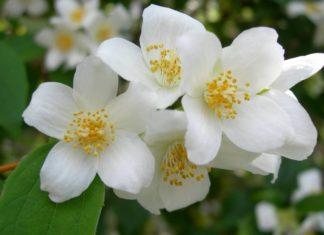 gelsomino in vaso giardino - come curare i gelsomini e come coltivare il gelsomino in vaso o in giardino