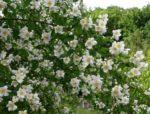 gelsomino giardino - come curare e come coltivare il gelsomino in giardino