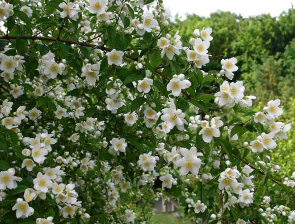 Gelsomino come curare e coltivare i gelsomini in vaso e for Gelsomino rampicante