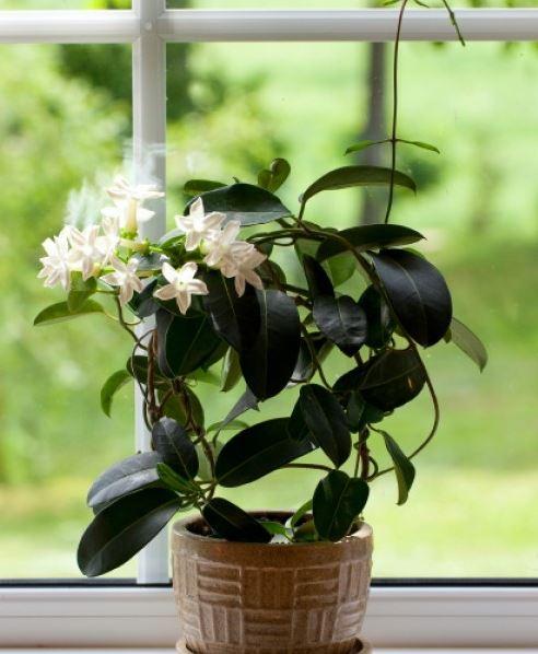 gelsomino come curare e coltivare i gelsomini in vaso e