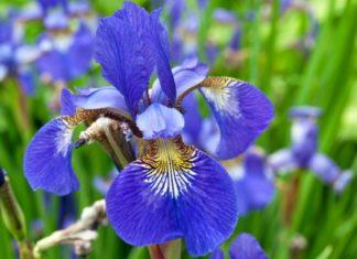 iris - come curare gli iris e come coltivare gli iris in vaso sul balcone o in giardino