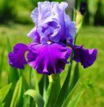 iris in giardino - cura e come coltivare l'iris in giardino