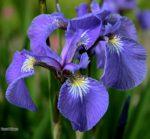 iris in vaso - cura e come coltivare l'iris in vaso sul balcone