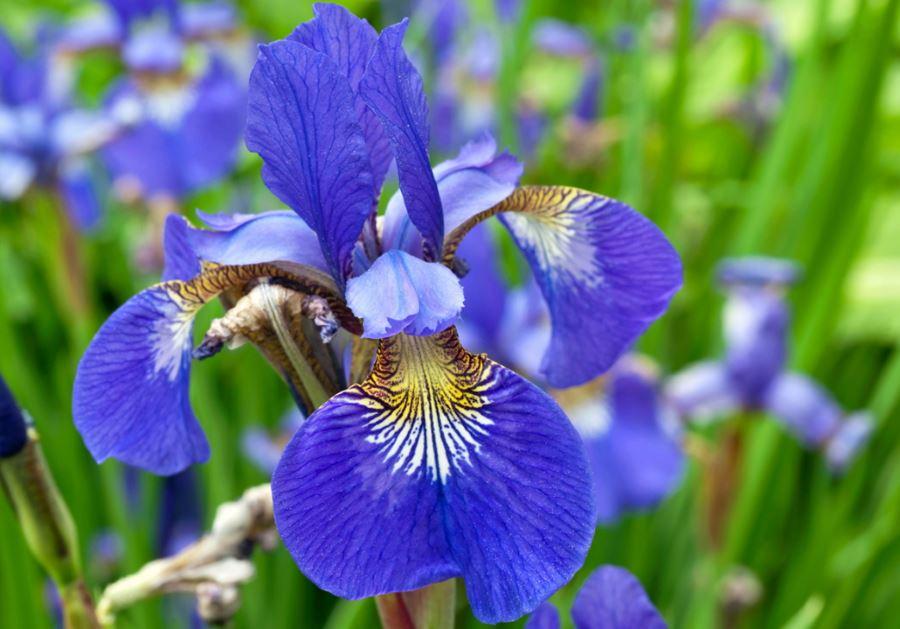 cura roselline in vaso iris come curare e coltivare gli iris in vaso e in giardino