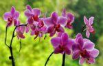 Orchidea: come curare e coltivare le orchidee in vaso e in giardino