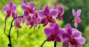 orchidea in vaso o giardino - come curare le orchidee e come coltivare le orchidee in vaso o in giardino