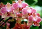 orchidea giardino - come curare e come coltivare le orchidee in giardino