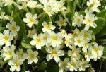 Primula: come curare e coltivare le primule in vaso e in giardino