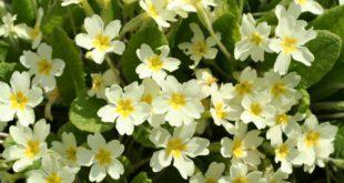 primula - come curare le primule e come coltivare le primule in vaso sul balcone o in giardino