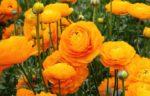 Ranuncolo: come curare e coltivare i ranuncoli in vaso e in giardino
