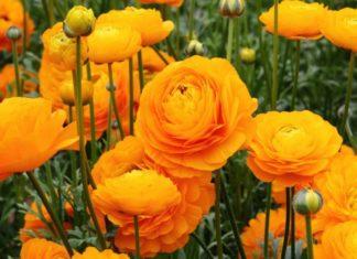 ranuncoli - come curare i ranuncoli e come coltivare i ranuncoli in vaso sul balcone o in giardino