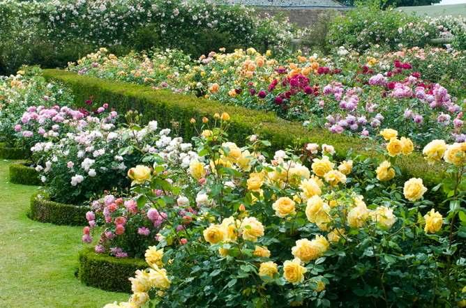 Rosa come curare e coltivare le rose in vaso e in giardino for Rose da giardino