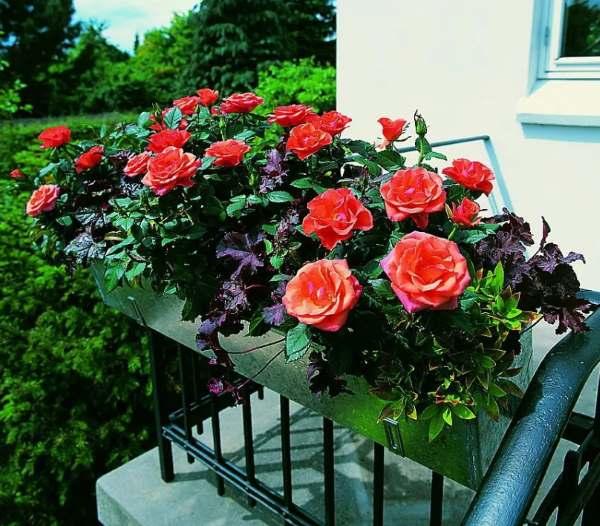 rosa come curare e coltivare le rose in vaso e in giardino