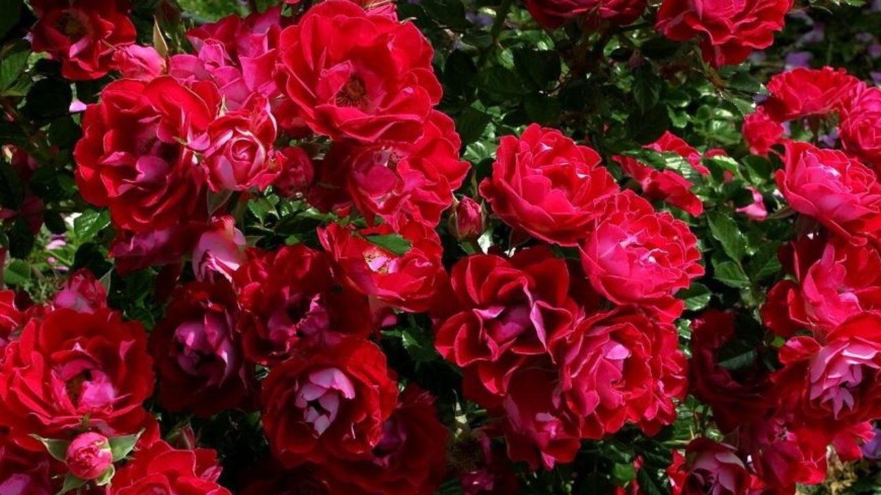 Rosa Rampicante In Vaso rosa: come curare e coltivare le rose in vaso e in giardino