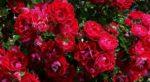 Rosa: come curare e coltivare le rose in vaso e in giardino