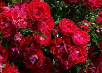 rose rosa - come curare le rose e come coltivare le rose in vaso sul balcone o in giardino