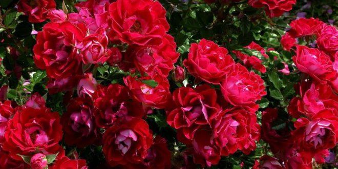 Rosa come curare e coltivare le rose in vaso e in giardino - Rose coltivazione in giardino ...