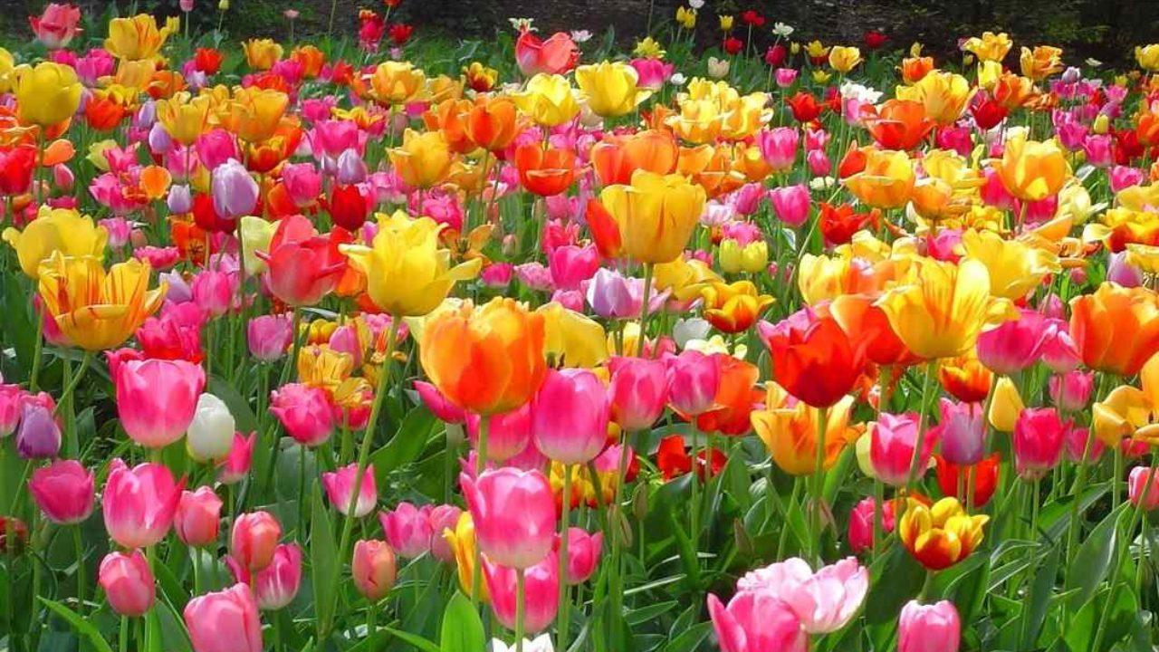 Piantare I Bulbi Di Tulipani tulipano: come curare e coltivare i tulipani in vaso e in